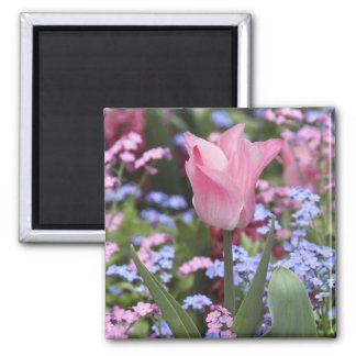 A tulip at Luxembourg Gardens, Paris, France Square Magnet