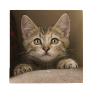 A Very Sweet Tabby Kitten Wood Coaster