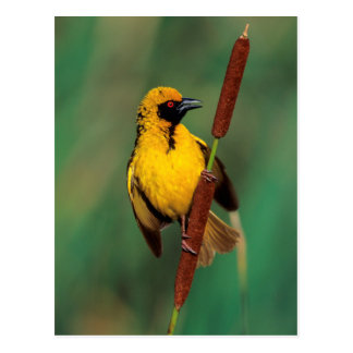 A Village Weaver calling while perched on a reed Postcard