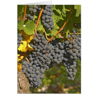 A vine with ripe Merlot grape bunches - Chateau Card