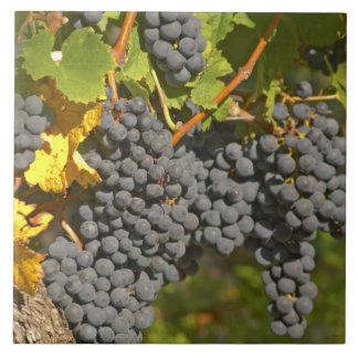 A vine with ripe Merlot grape bunches - Chateau Large Square Tile