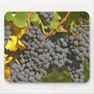 A vine with ripe Merlot grape bunches - Chateau Mouse Mat