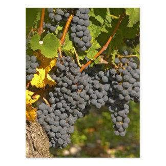 A vine with ripe Merlot grape bunches - Chateau Postcard