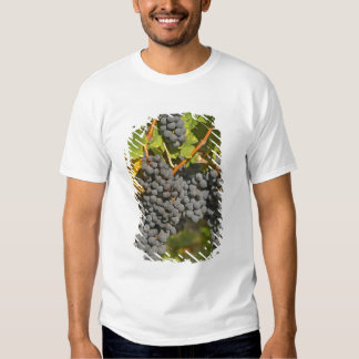 A vine with ripe Merlot grape bunches - Chateau Shirt