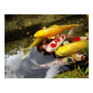 A waterway full of Japanese koi carps Postcard