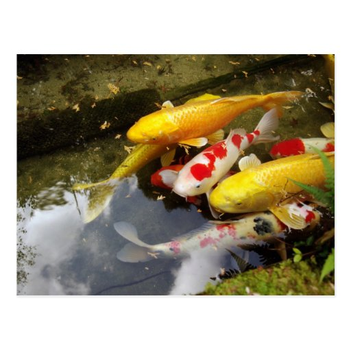 A waterway full of Japanese koi carps Post Cards