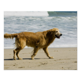 A wet dog at the beach. poster