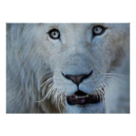 A white lion in Africa Poster
