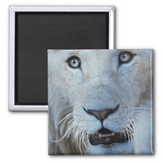 A white lion in Africa Square Magnet