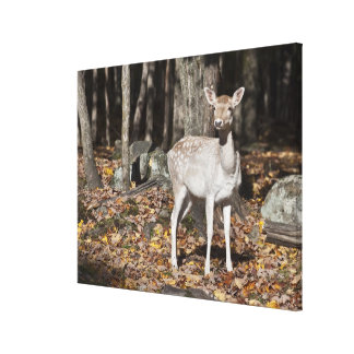 A White-tailed deer (fawn) standing in the Canvas Print