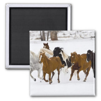 A winter scenic of running horses on The Square Magnet