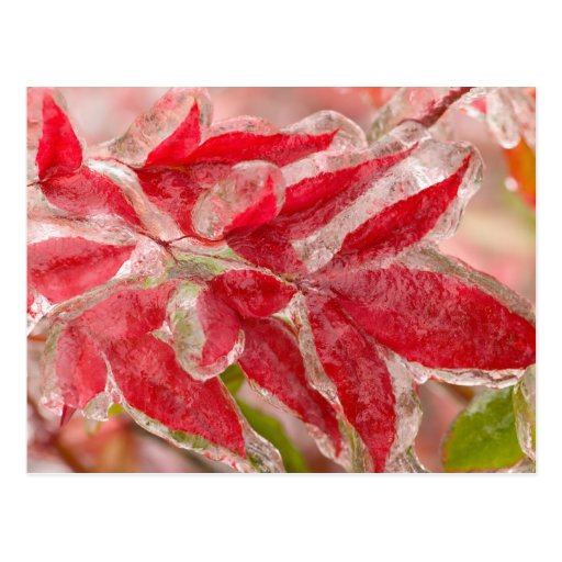A winters ice storm covering the leaves of post cards