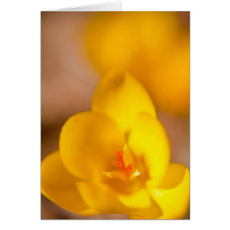 A yellow crocus blooms in Portsmouth, New Card
