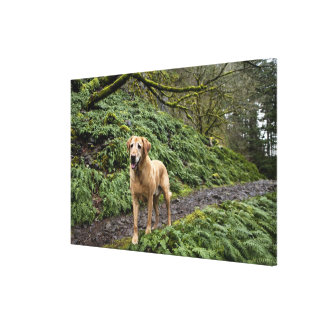 A yellow lab waiting on a trail for several canvas print
