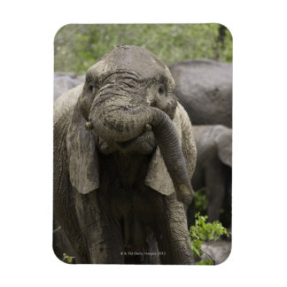 A young African elephant (Loxodonta africana) Rectangular Photo Magnet