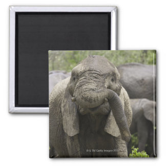 A young African elephant (Loxodonta africana) Square Magnet