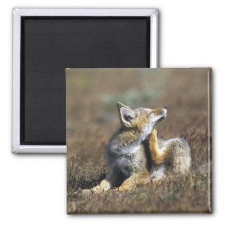 A young Argentine Gray Fox, (Dusicyon griseus), Magnet