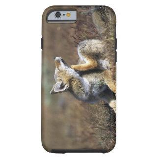 A young Argentine Gray Fox, (Dusicyon griseus), Tough iPhone 6 Case