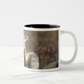 A young Argentine Gray Fox, (Dusicyon griseus), Two-Tone Coffee Mug