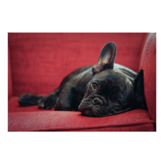 A Young French Bulldog Lying On A Couch Poster
