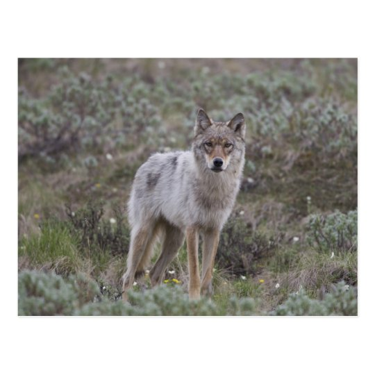 A young grey wolf trots across the tundra