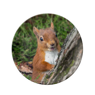 A young red squirrel plate