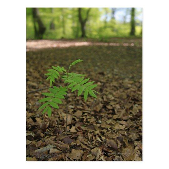 A young sapling Rowan tree starts life in