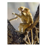 A young Yellow baboon  (Papio cynocephalus) Post Card