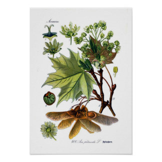 Acer platanoides (Norway Maple) Poster