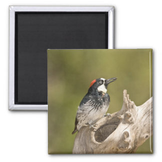 Acorn Woodpecker, Melanerpes formicivorus, South Magnet