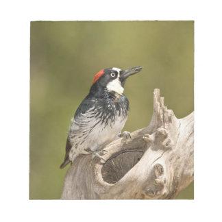 Acorn Woodpecker, Melanerpes formicivorus, South Notepad