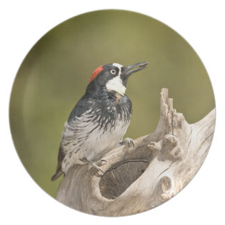 Acorn Woodpecker, Melanerpes formicivorus, South Party Plates