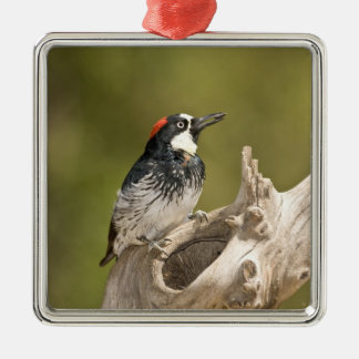 Acorn Woodpecker, Melanerpes formicivorus, South Silver-Colored Square Decoration