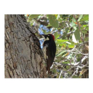 Acorn Woodpecker Postcards