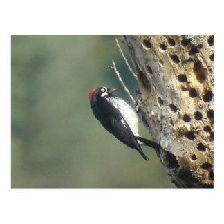 Acorn Woodpecker Postcard