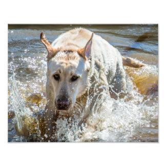 Active Yellow Labrador Splashing: Pet Photography Photograph