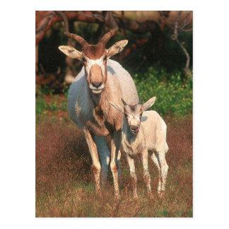 Addax / White Antelope / Screwhorne Antelope Postcard