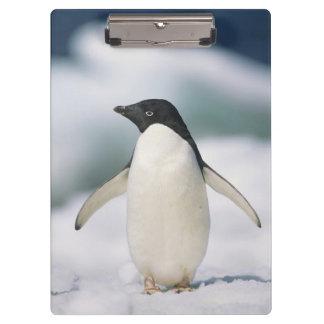 Adelie penguin, close-up clipboard