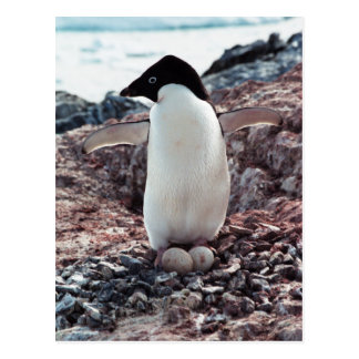 Adelie Penguin Nest Postcard