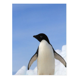 Adelie Penguin Postcard
