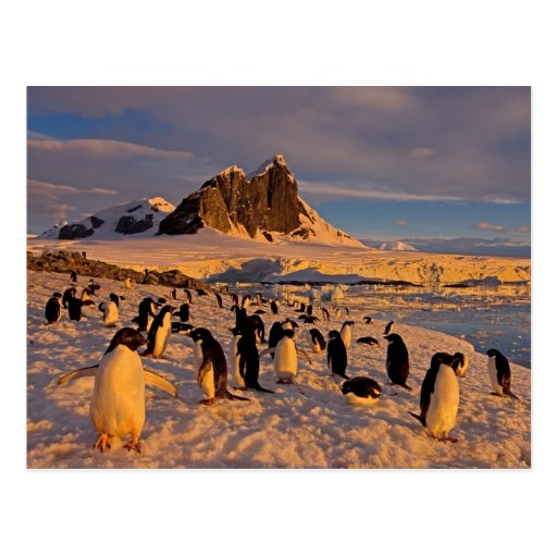 adelie penguin, Pygoscelis Adeliae, colony along Post Cards