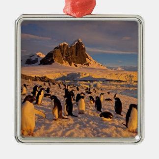 adelie penguin, Pygoscelis Adeliae, colony along Silver-Colored Square Decoration