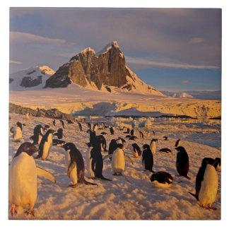 adelie penguin, Pygoscelis Adeliae, colony along Tile