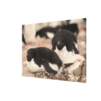 Adelie Penguin, Pygoscelis adeliae, on nesting Canvas Print