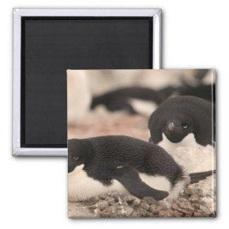 Adelie Penguin, Pygoscelis adeliae, on nesting Magnet