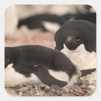 Adelie Penguin, Pygoscelis adeliae, on nesting Square Sticker
