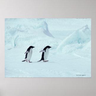 Adelie Penguins, Antarctica Poster