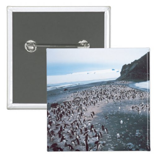 Adelie Penguins Pinback Buttons