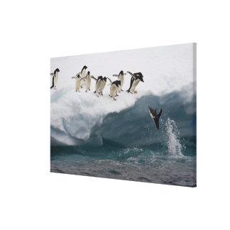 Adelie Penguins diving into sea Paulette Canvas Print
