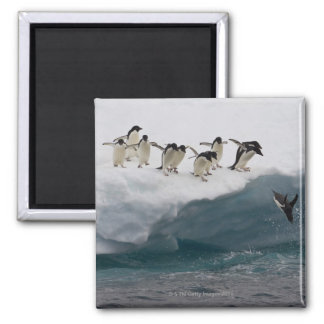 Adelie Penguins diving into sea Paulette Magnet